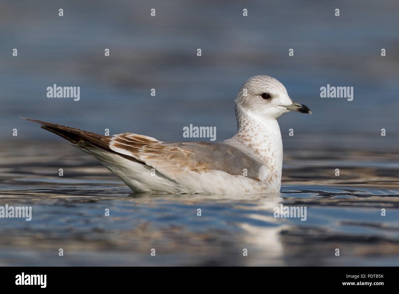 First winter plumage Common Gull swimming. - Stock Image