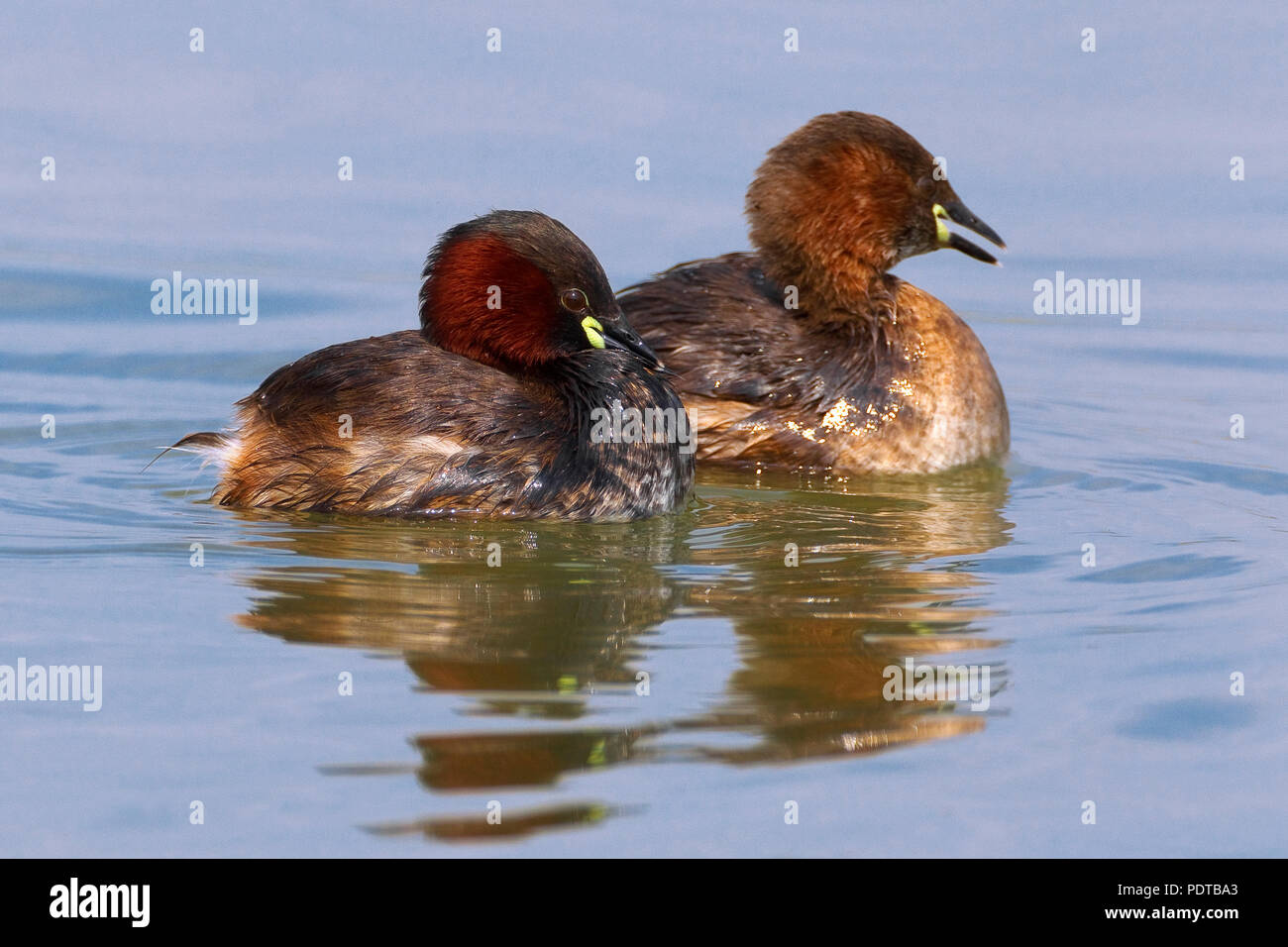 Twee zwemmende Dodaarsen. Two Little Grebes swimming. Stock Photo