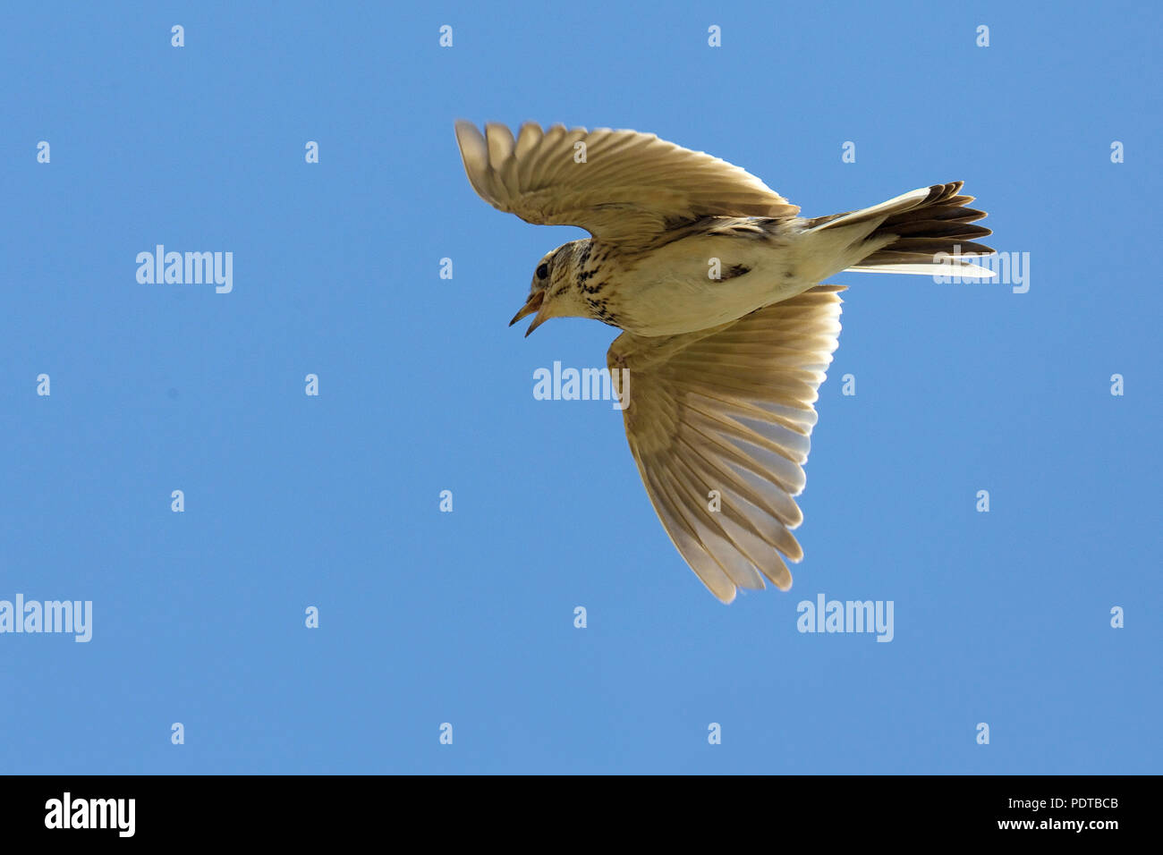 Skylark singing against a blue sky. - Stock Image