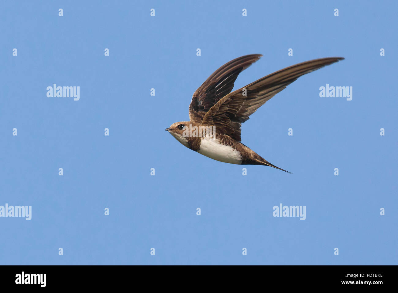 Alpine Swift flying across a blue sky. - Stock Image
