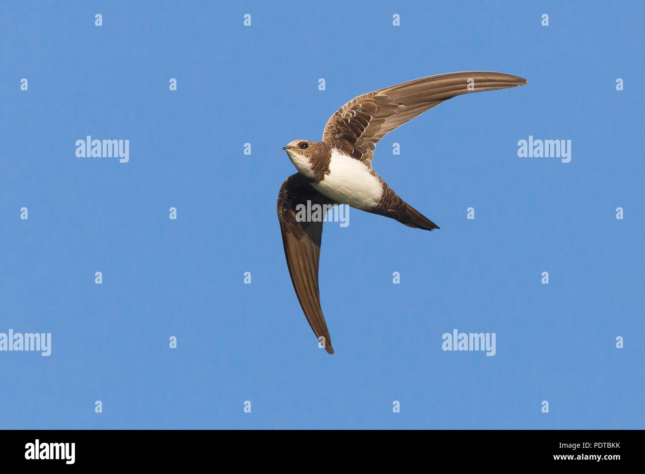Alpine Swift flying across a blue sky. Stock Photo