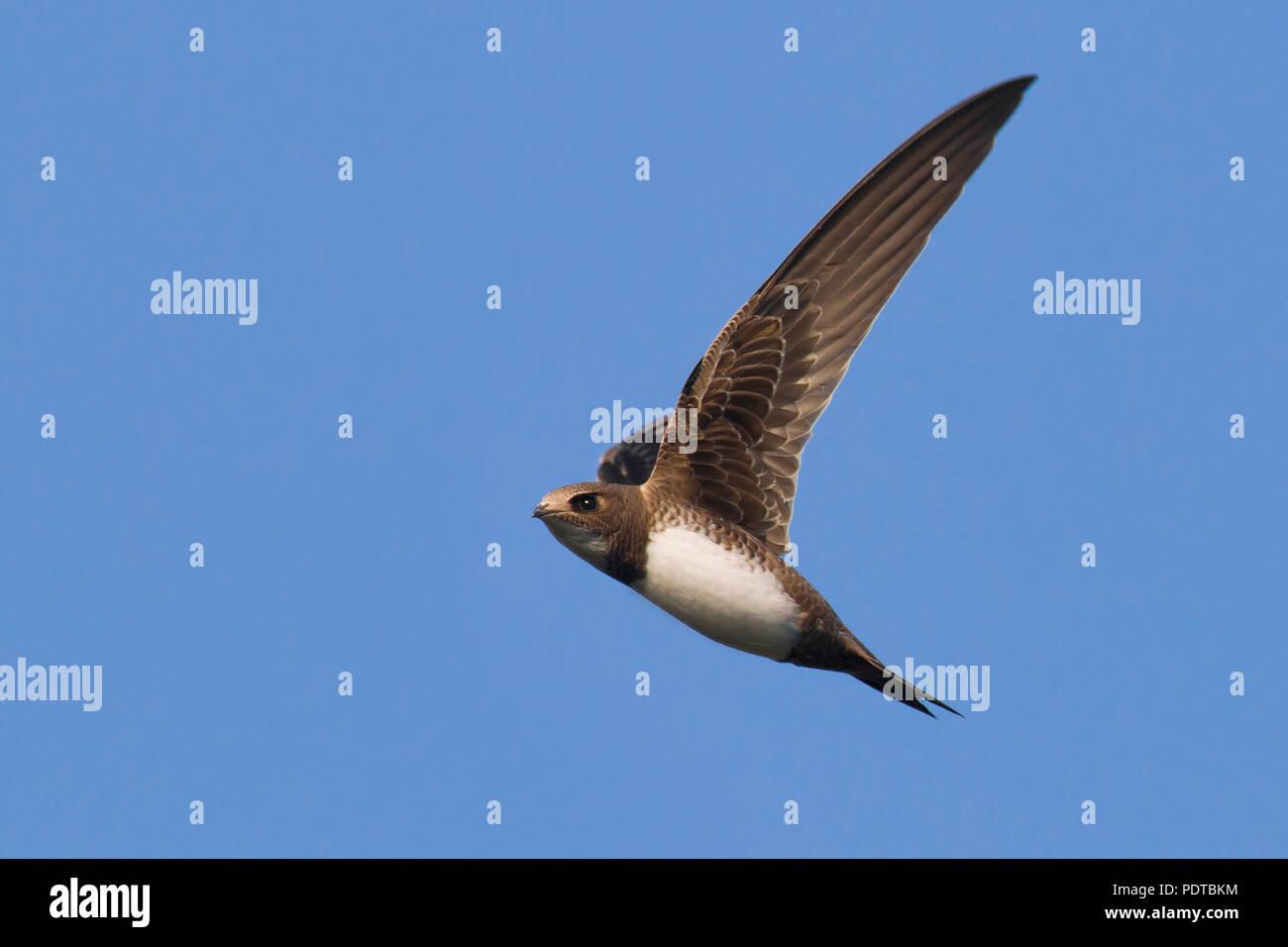 Alpine Swift flying across a blue sky. Stock Photo