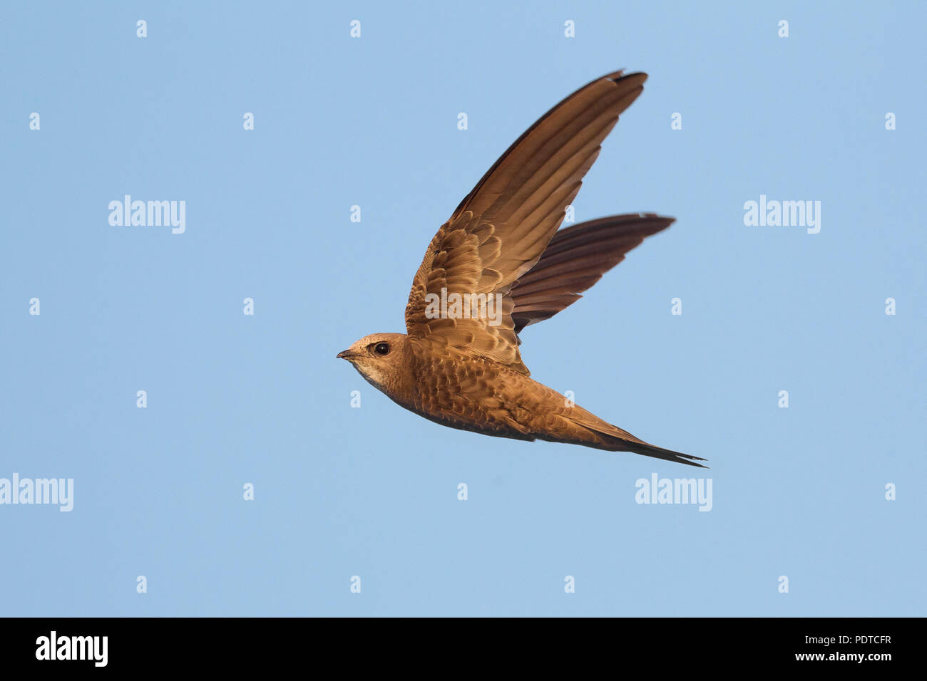 Pallid Swift flying. - Stock Image