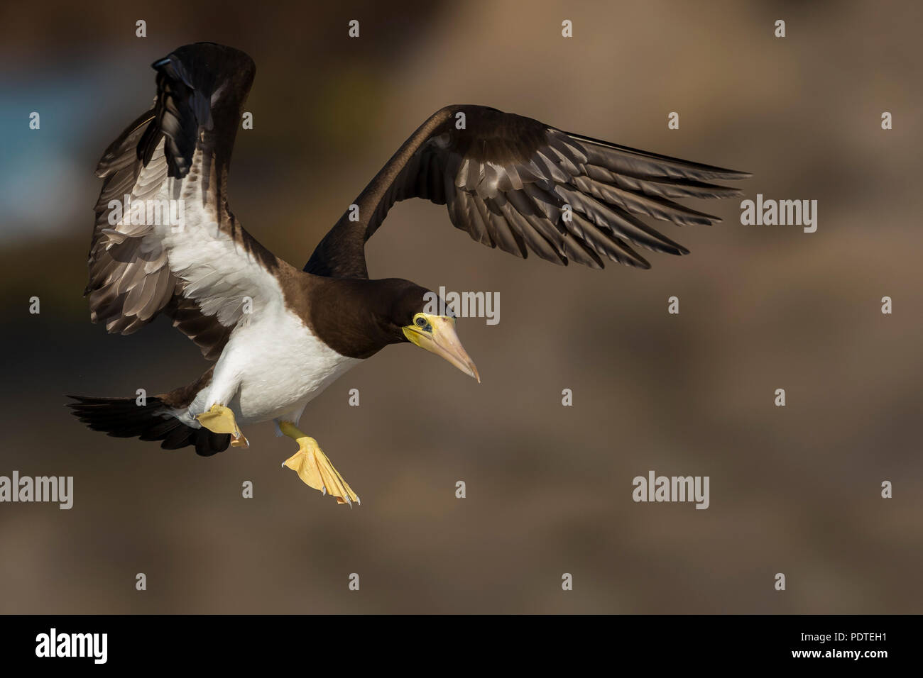 Brown Booby; Sula leucogaster - Stock Image