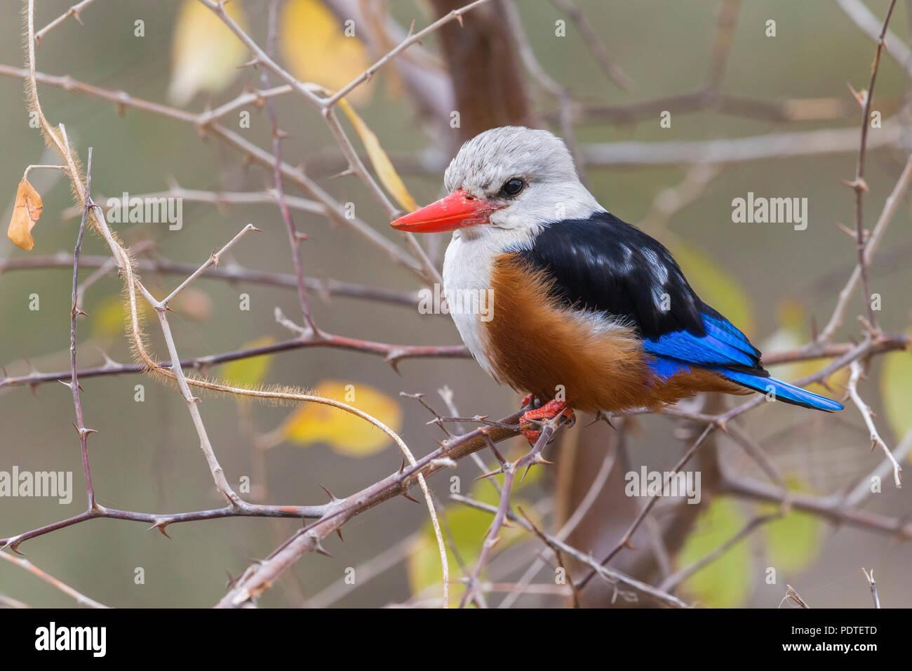 Grey-headed Kingfisher; Halcyon leucocephala - Stock Image