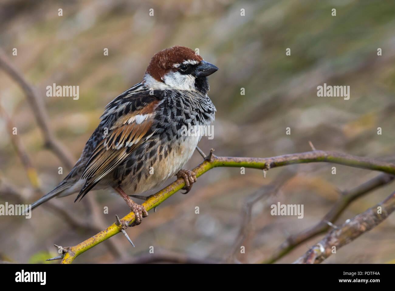 Spanish Sparrow; Passer hispaniolensis Stock Photo