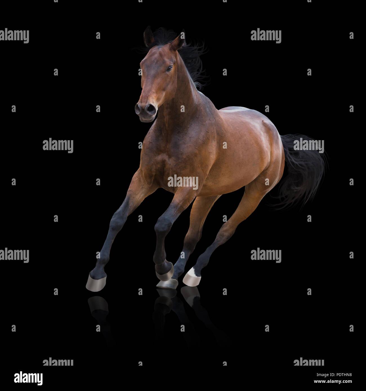 Bay horse runs isolated on the black background - Stock Image