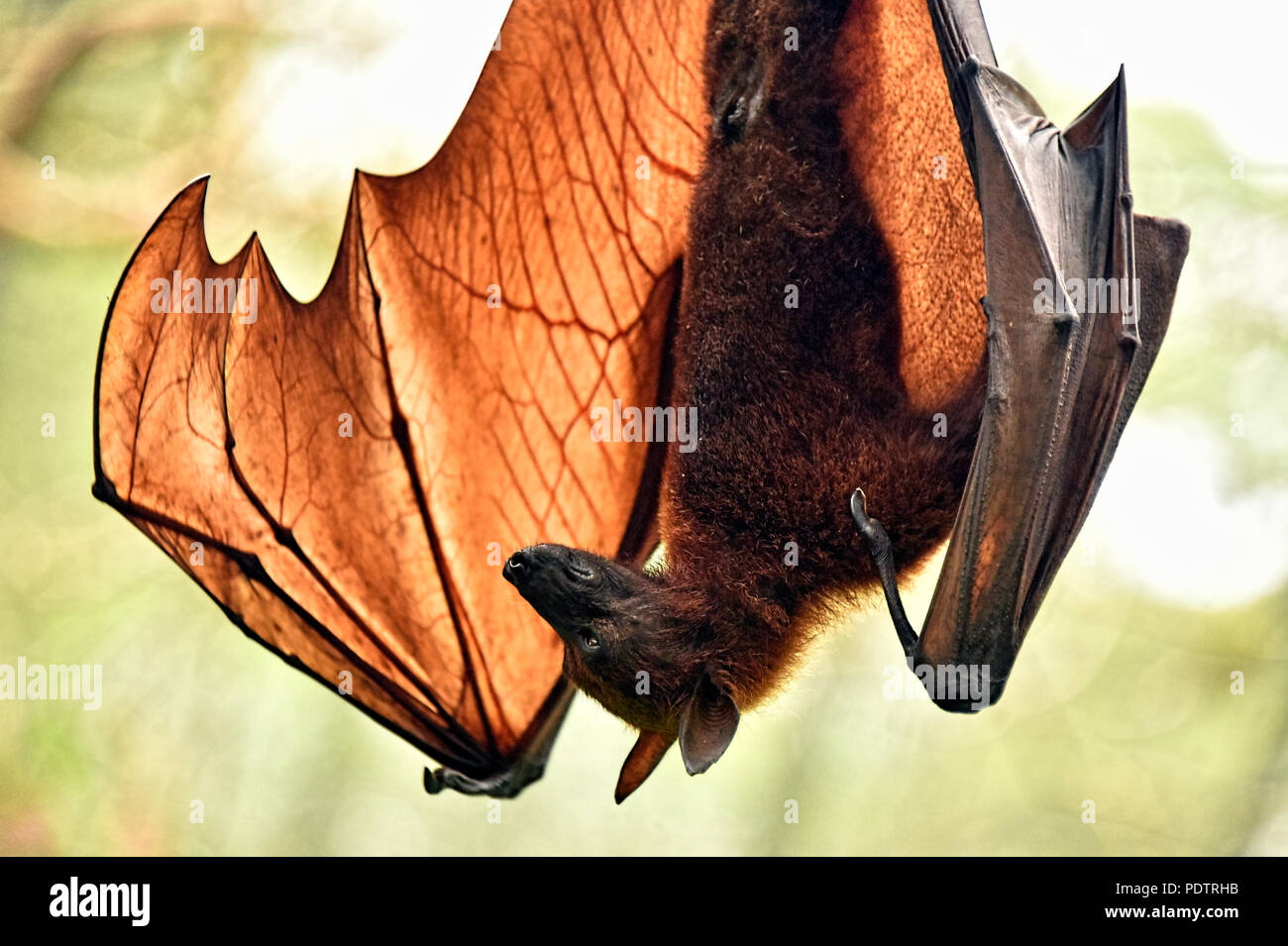 Bats of the genus Pteropus are among the largest bats in the world. They are commonly known as fruit bats or flying foxes. Stock Photo