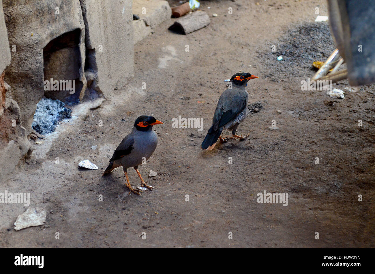 Two indian myna birds scavenging for food - Stock Image