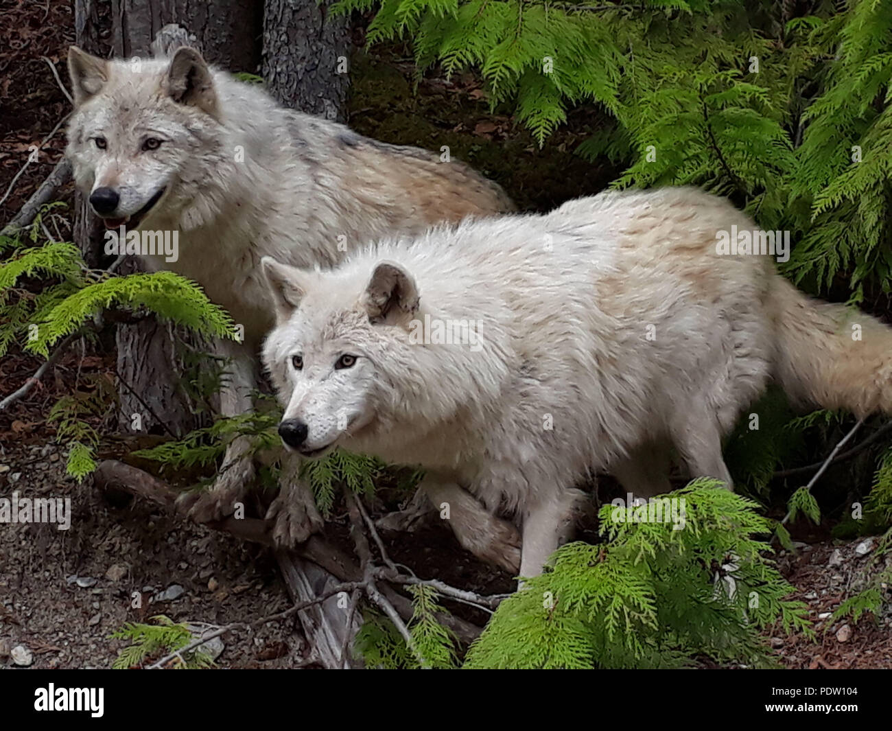 Wolves in Golden British Columbia Canada Stock Photo