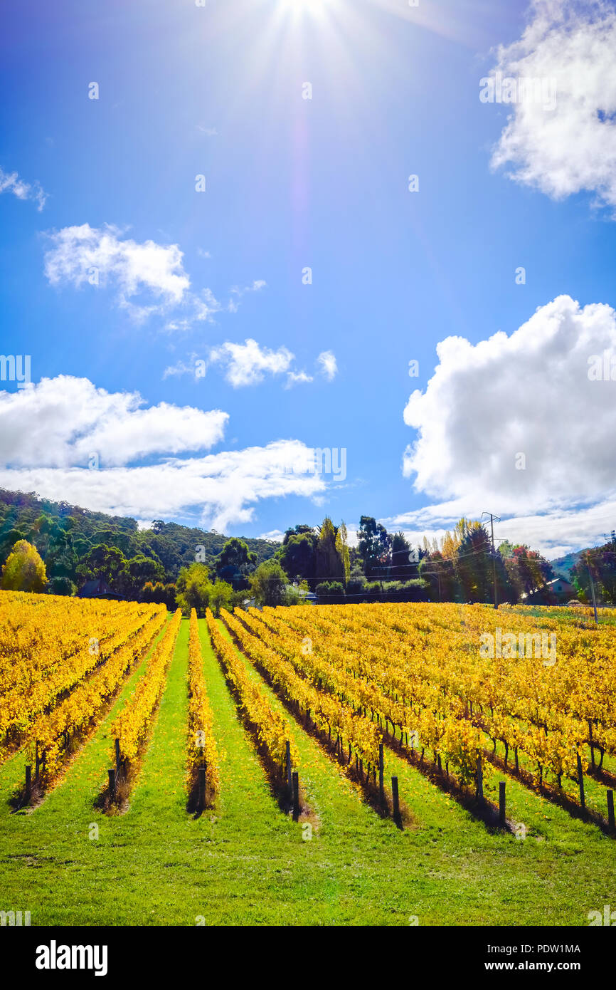 Grape vines in autumn, Adelaide Hills area, South Australia - Stock Image