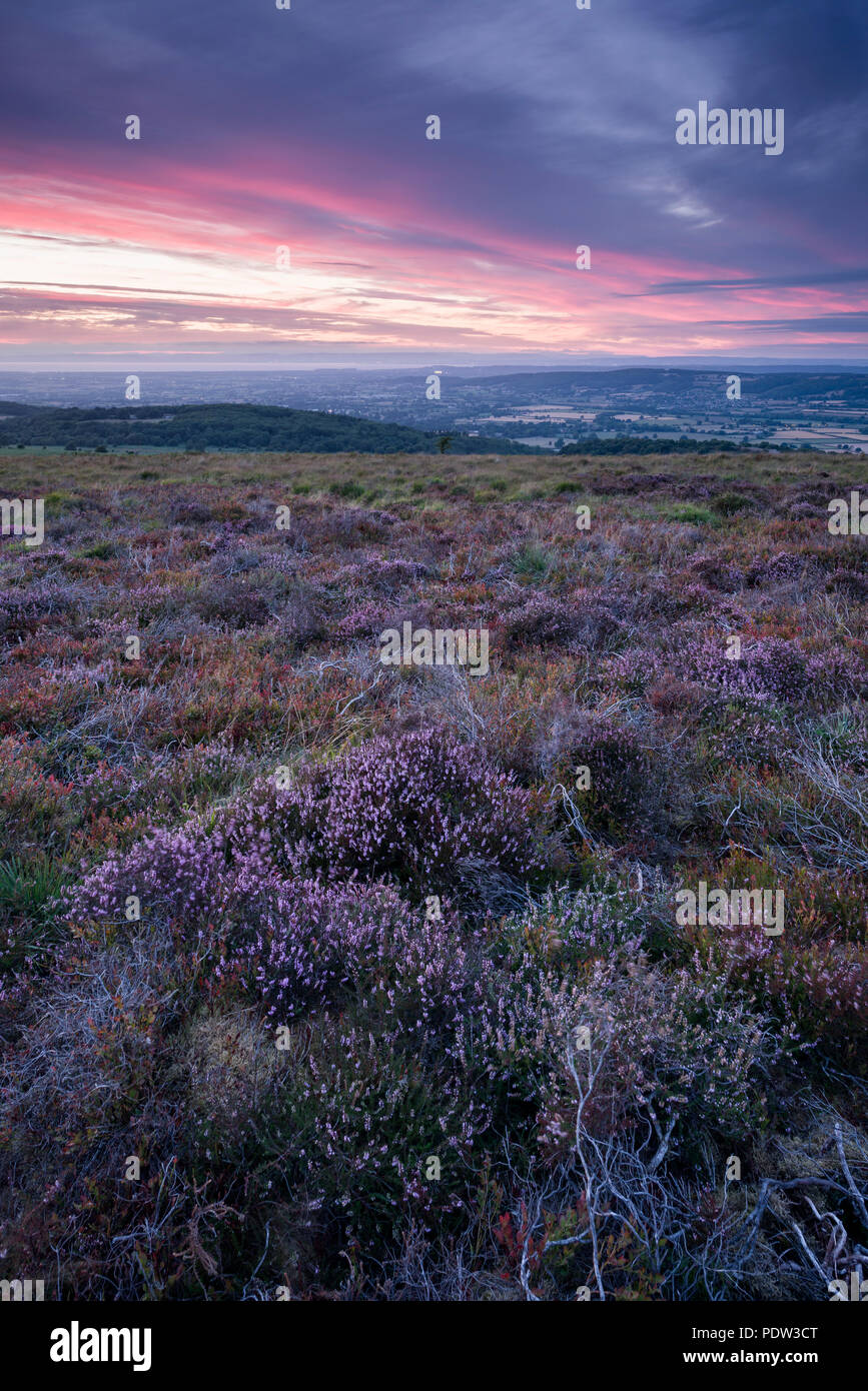 Heather on Black Down in the Mendip Hills Area of Outstanding Natural Beauty, Somerset, England. - Stock Image
