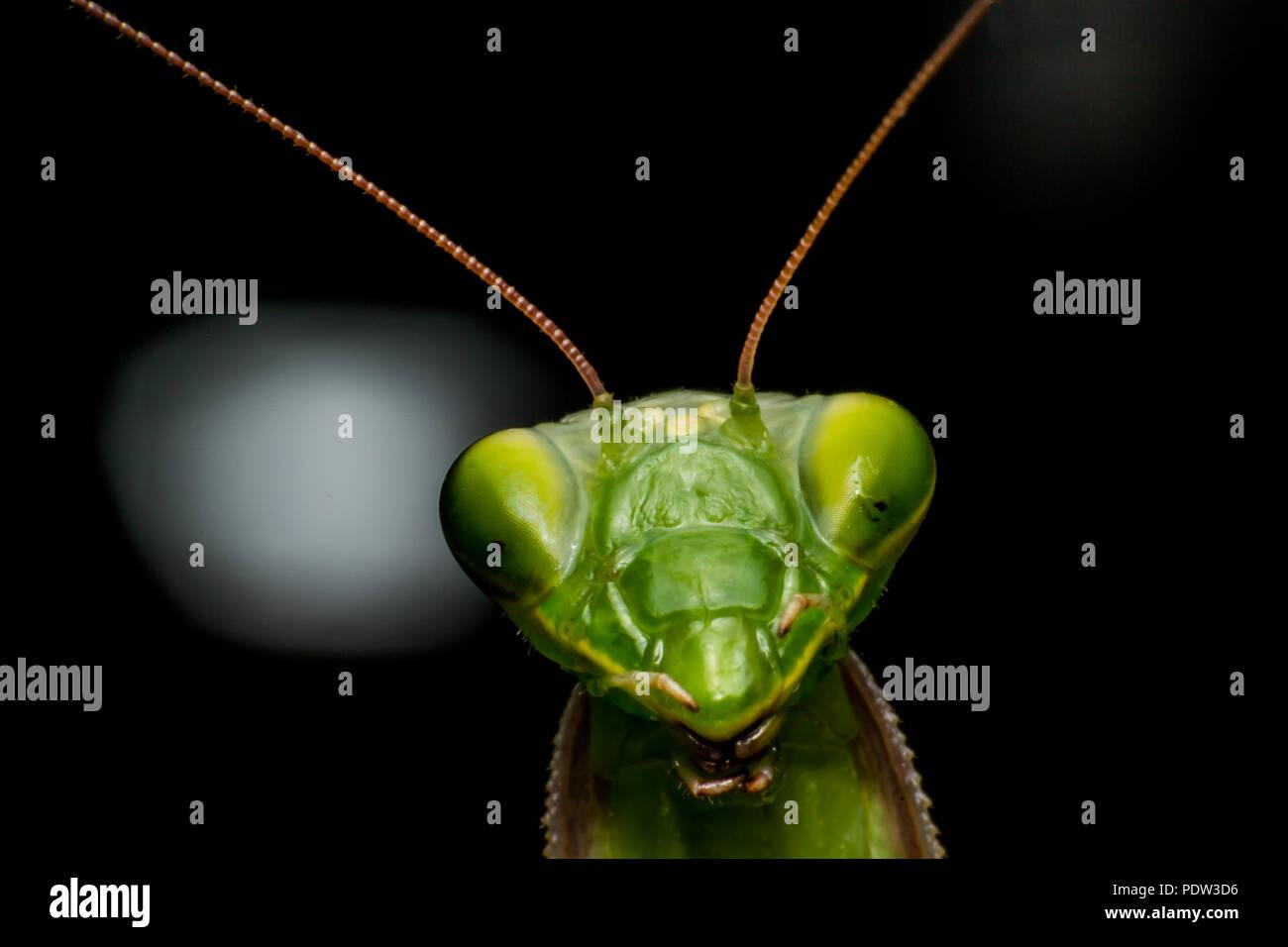 Mantis close-up, macro - Stock Image