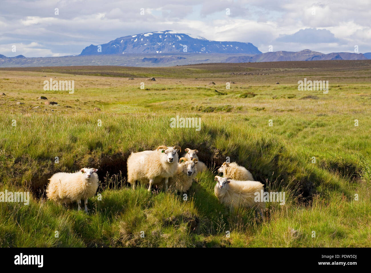 Icelandic Sheep, wooly in their unsheared summer wool, in a meadow pasture on the glacial plains near Gullfoss in south Iceland. - Stock Image