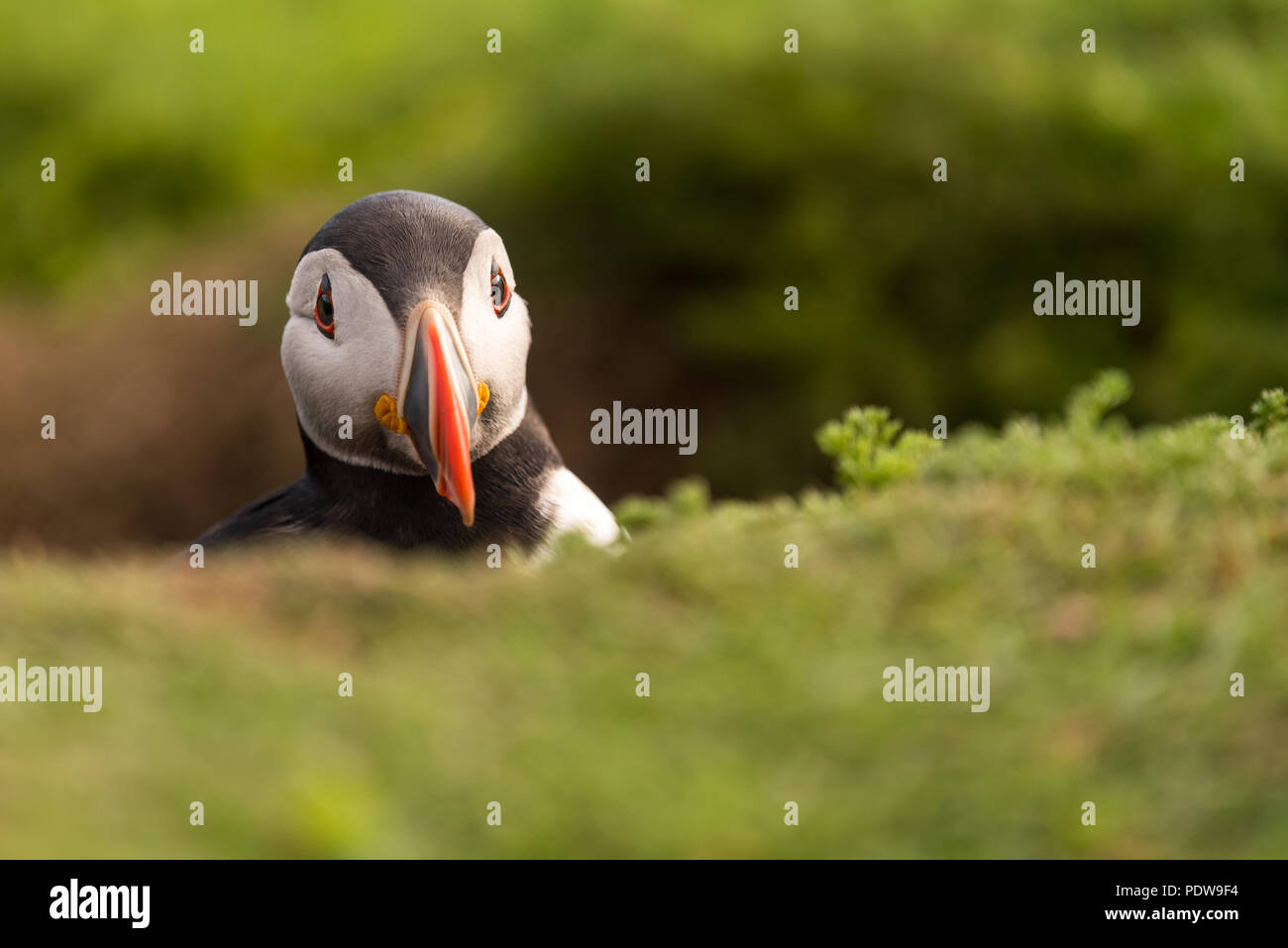 A puffin with its head out of its burrow - Stock Image