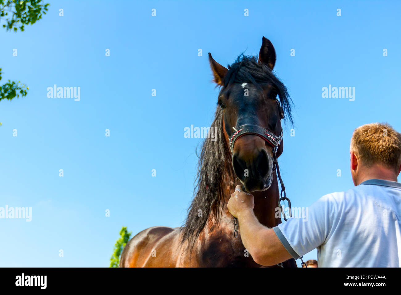 Man is holding the reins of a brown thoroughbred horse race, hold saddle strap. - Stock Image