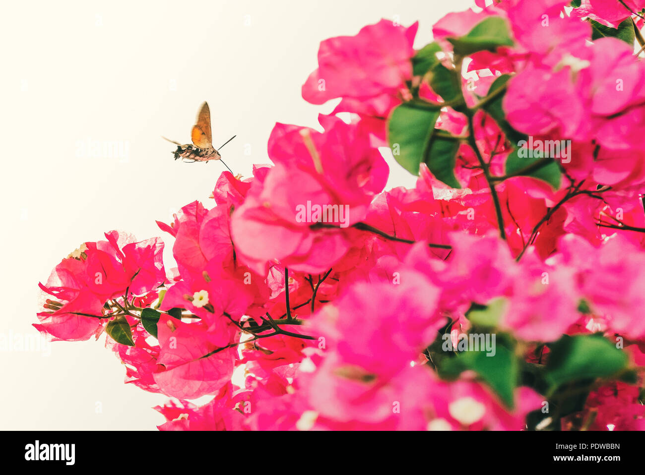 Hummingbird hawk moth flying hovering in spain above pink bougainvillea flowers. The curled tounge like proboscis can be seen. - Stock Image