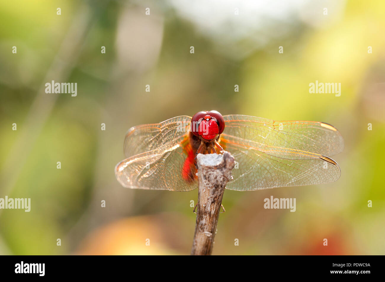 Scarlet Dragonfly - Broad Scarlet - Garrigue - Southern France (Crocothemis erythraea) Libellule écarlate Stock Photo