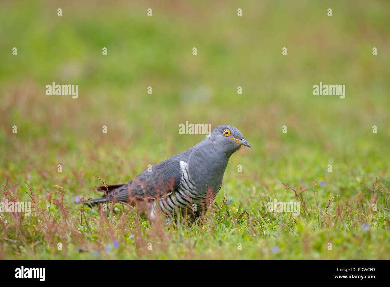 Male cuckoo resting in the grass - Stock Image