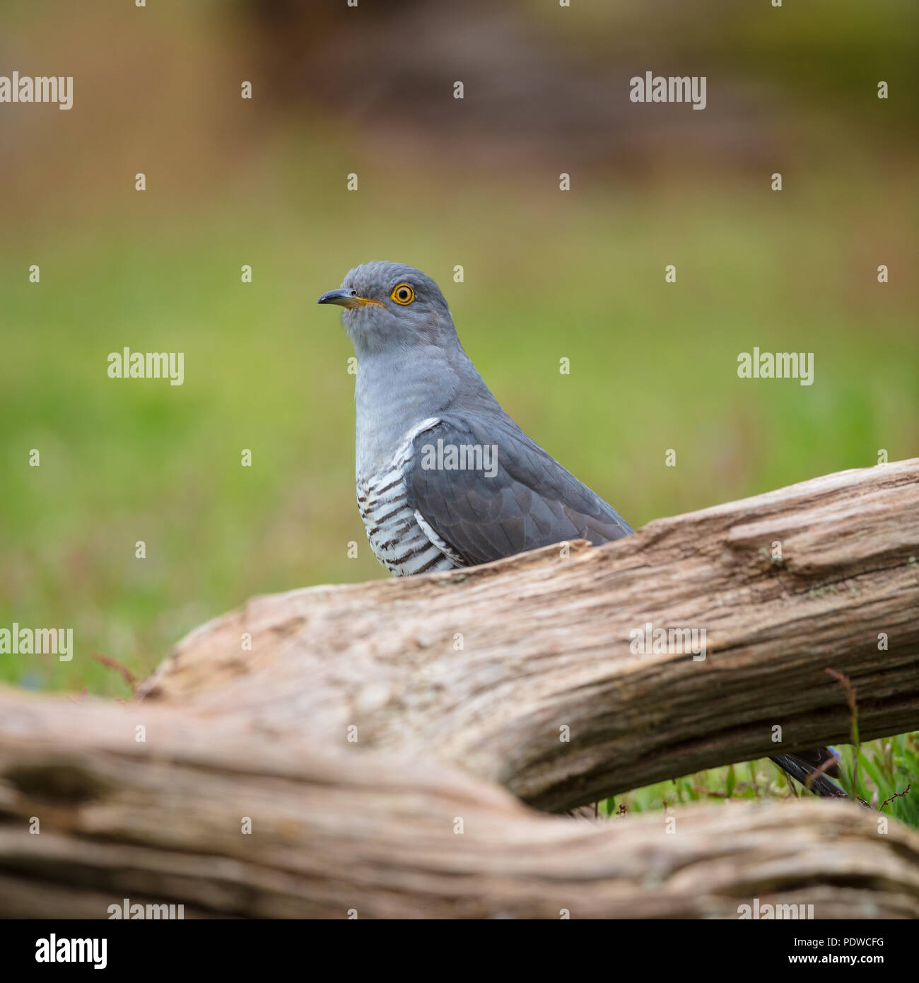 Cuckoo perching on some fallen wood - Stock Image
