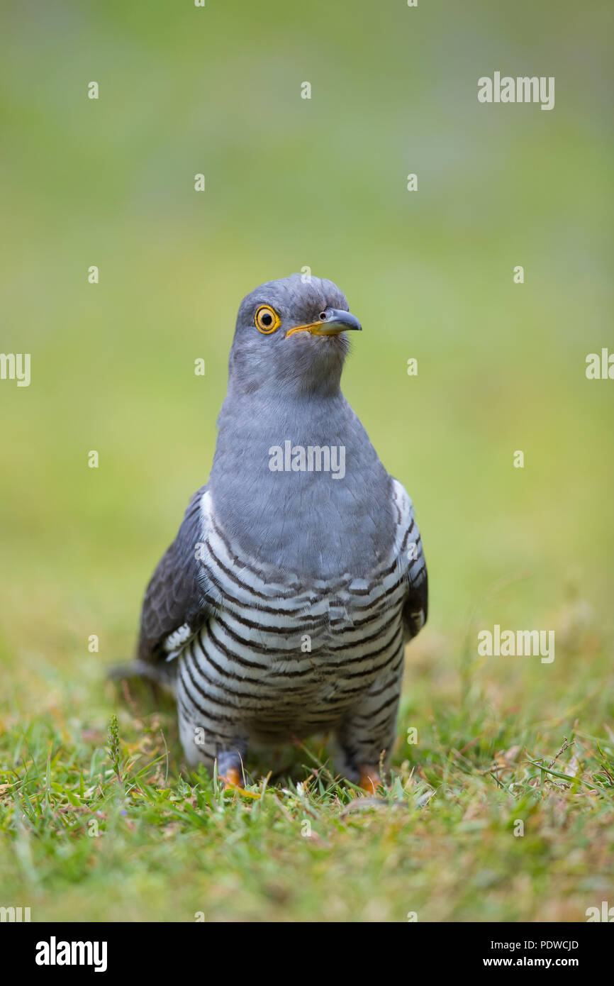 Male cuckoo in the grass - Stock Image