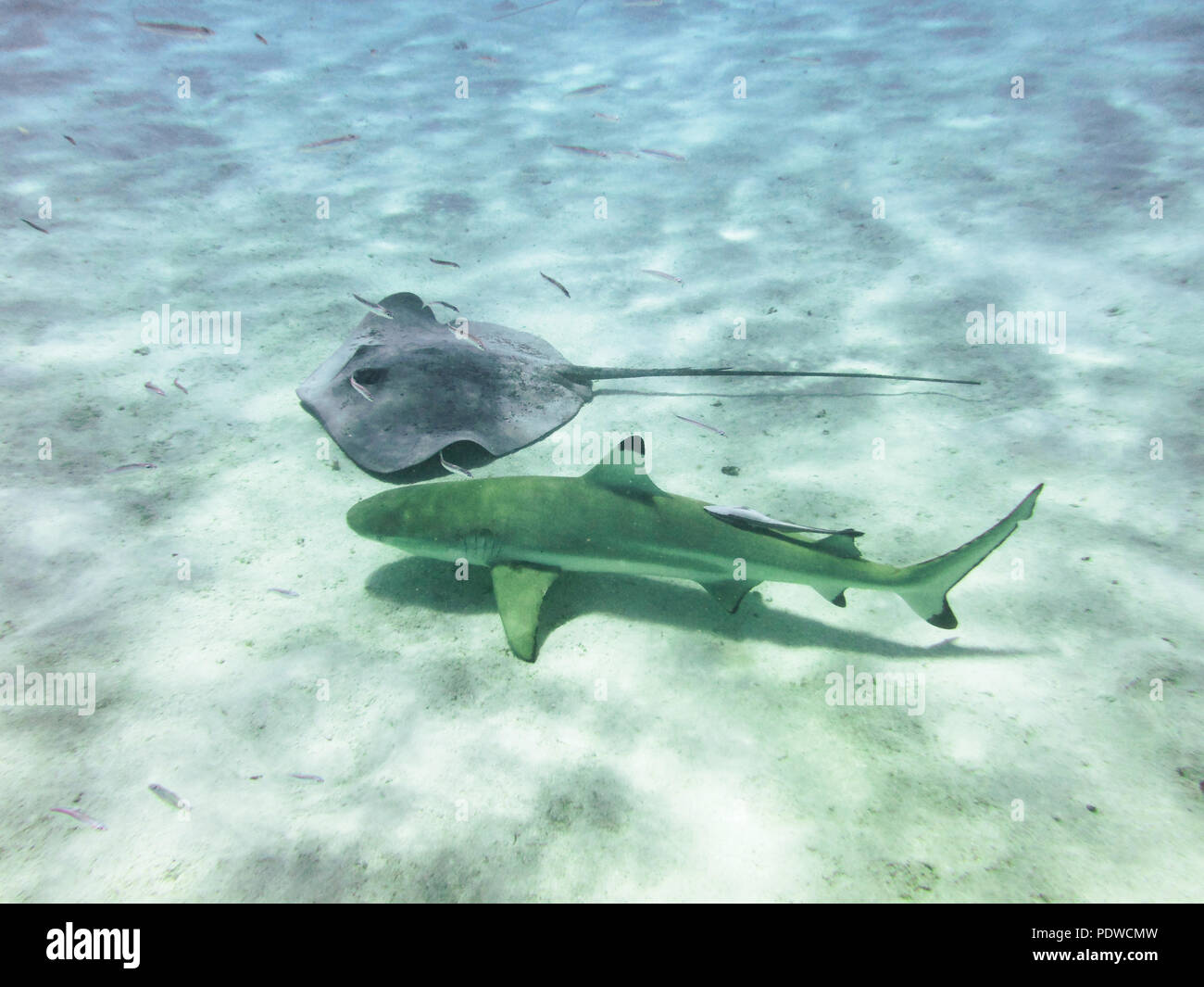 Scat and shark swim together. Underwater shooting in the tropics. Close-up - Stock Image