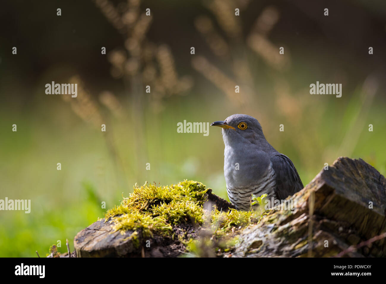 Backlit male cuckoo - Stock Image