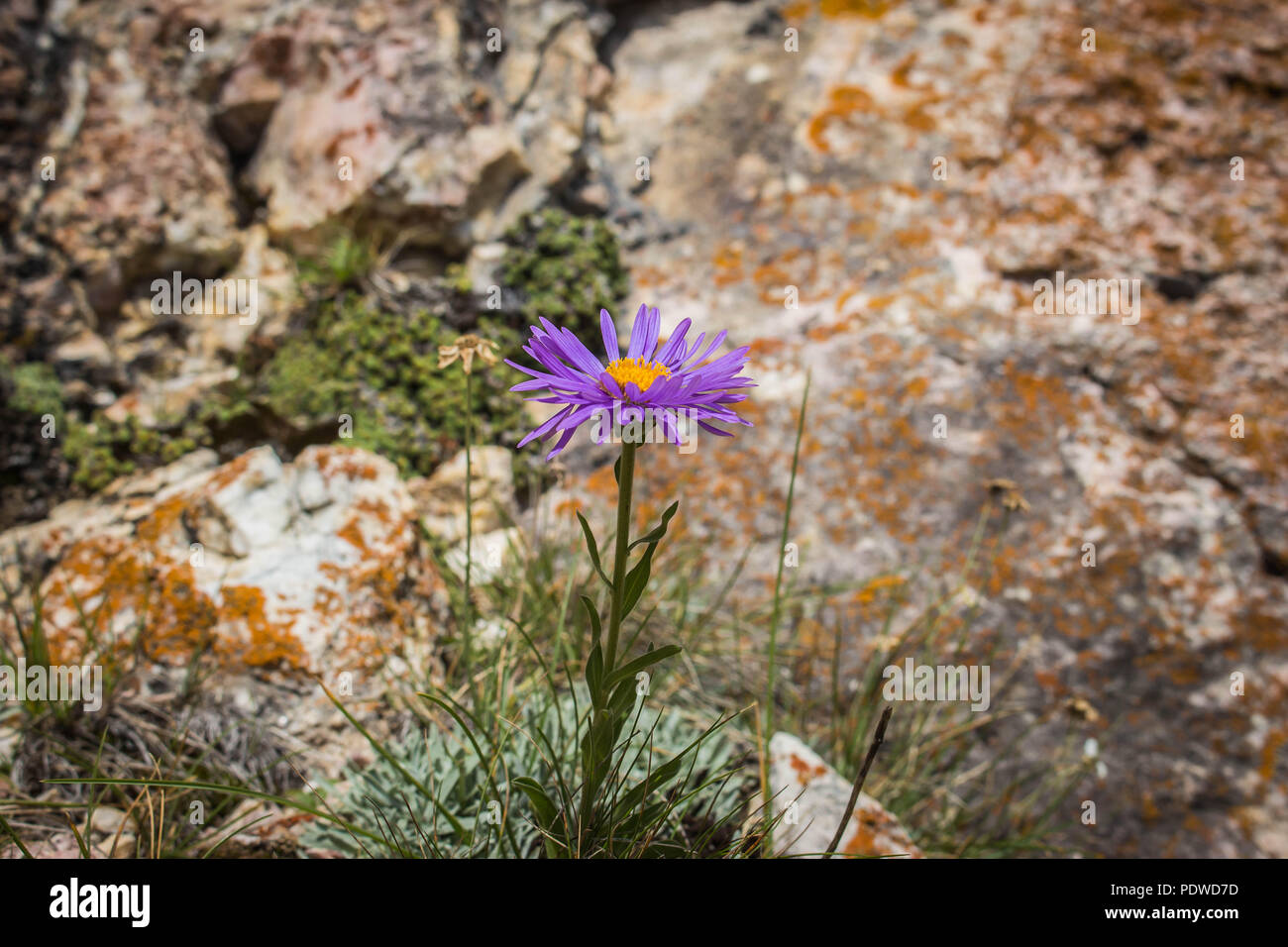 Single violet flower of perennial forb / Aster alpinus on the Sharr mountain on Kosovo - Stock Image
