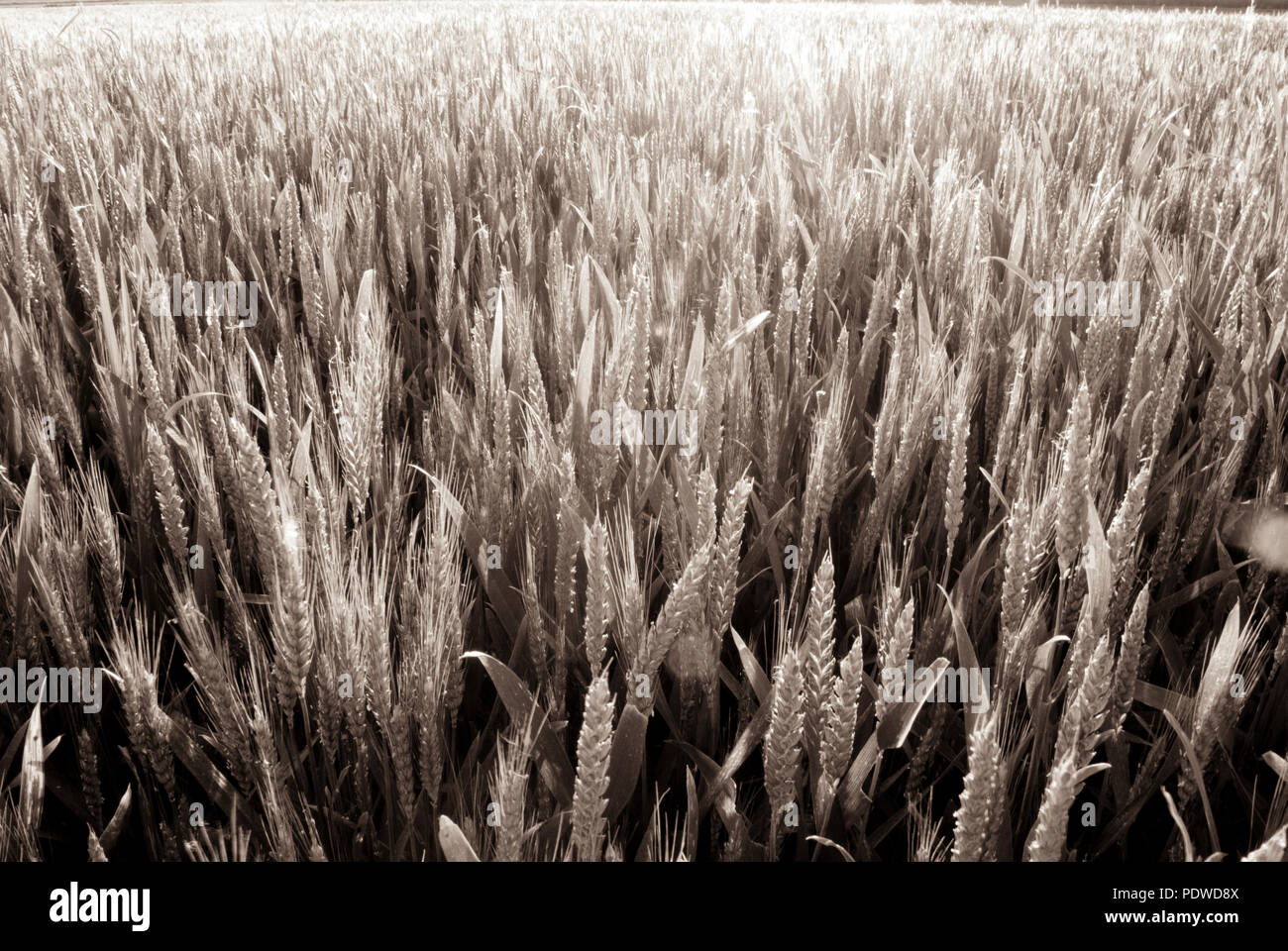in the middle of the grain field. sepia tones Stock Photo