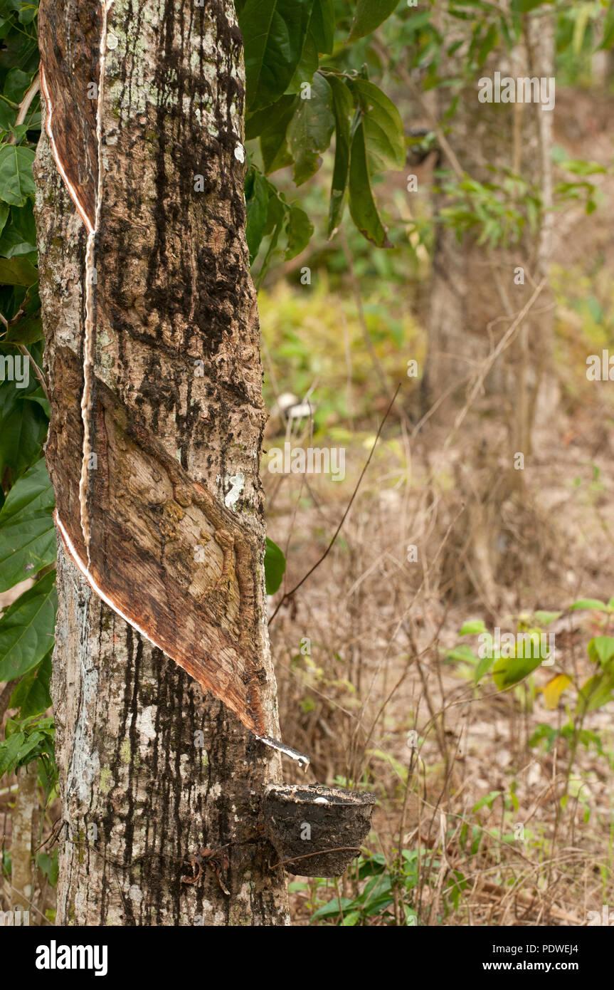 Harvest rubber - Hevea brasiliensis - Thailand - Récolte du latex sur hévéa - Thaïlande - Stock Image