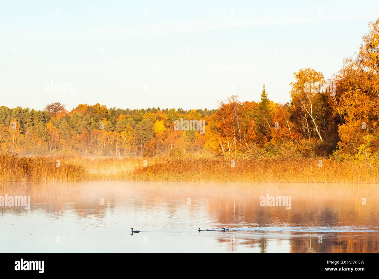 Great Crested Grebes swimming in dawn the mist on the lake with autumn colors - Stock Image