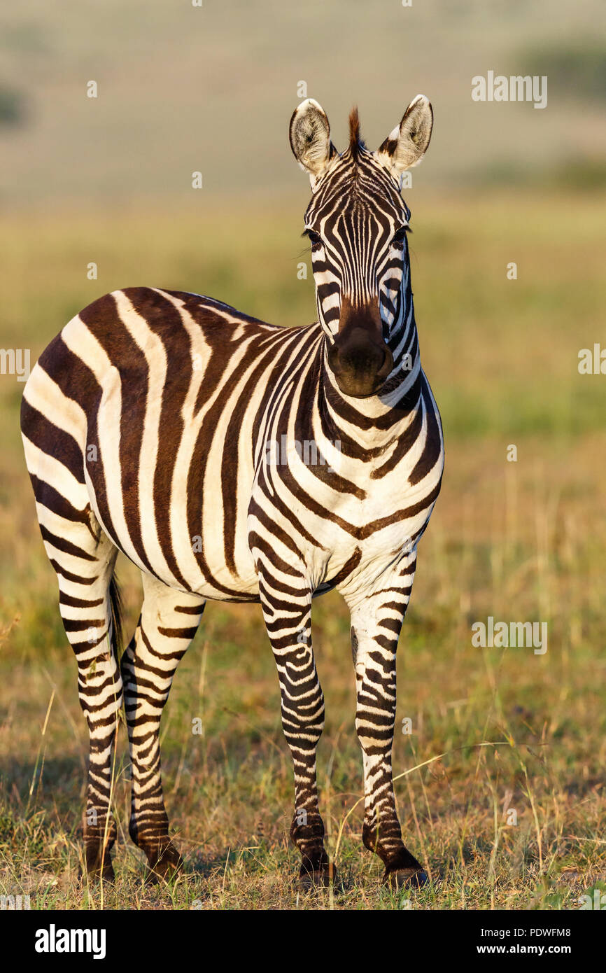 Zebra looking at the camera - Stock Image