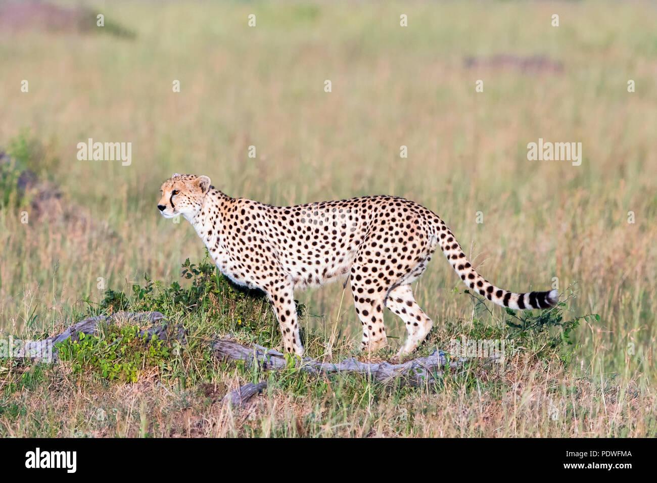 Watchful Cheetah in the savanna - Stock Image