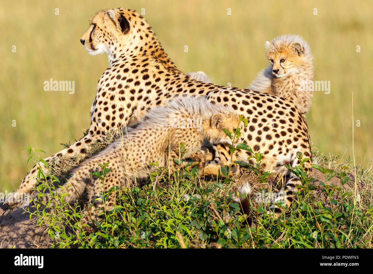 Cheetah with cubs lying on the savannah and watching - Stock Image