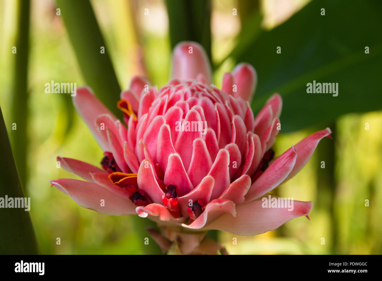 Nice closeup of a beautiful pink rose de porcelaine (Etlingera elatior). This special flower is used as decoration in flower arrangements like ikebana... - Stock Image