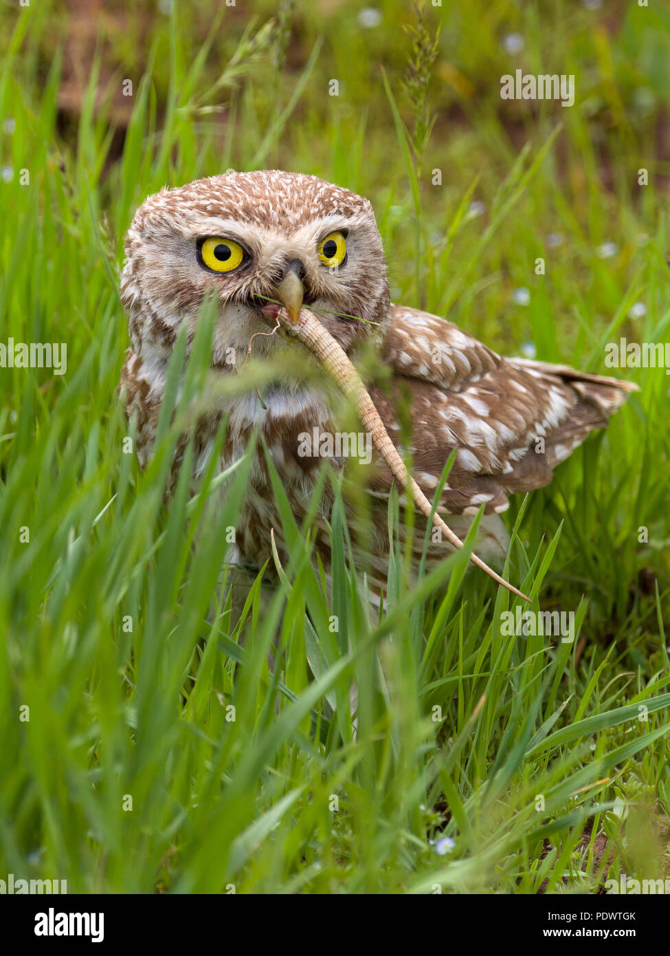 Little Owl eating a lizzard. - Stock Image