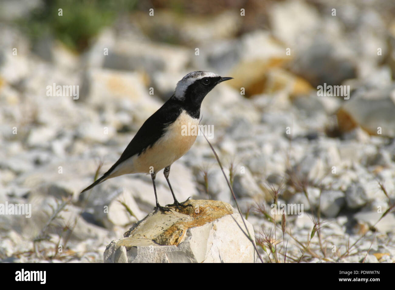 Cyprus Wheatear looking arround from a rocky stone. Stock Photo