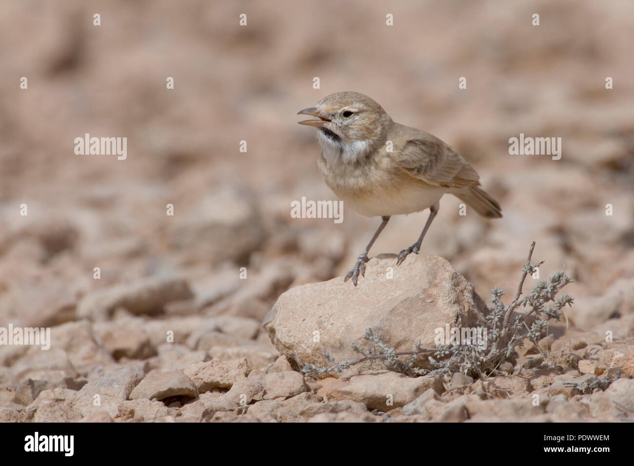 Calling Bar-tailed Desert Lark on a stone, side-view. - Stock Image