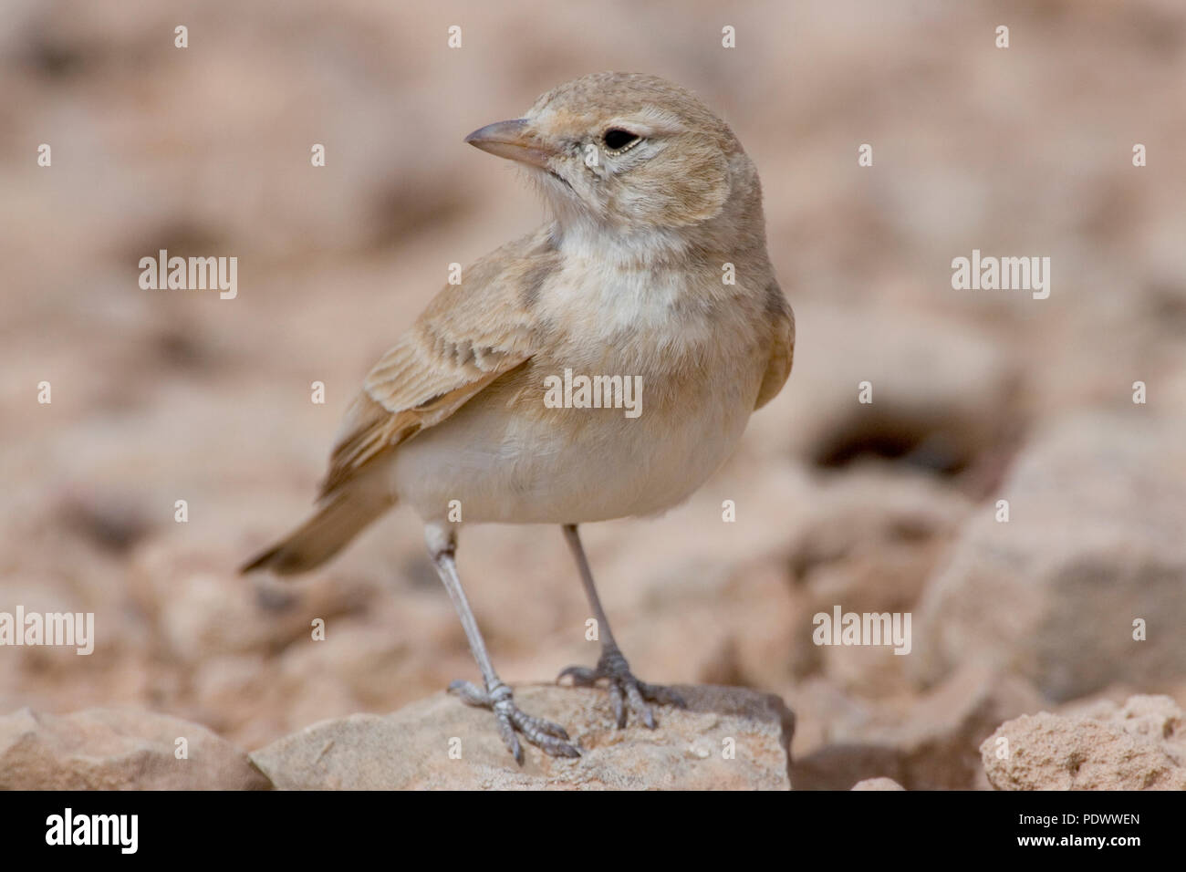 Bar-tailed Desert Lark on a stone, front-view. - Stock Image