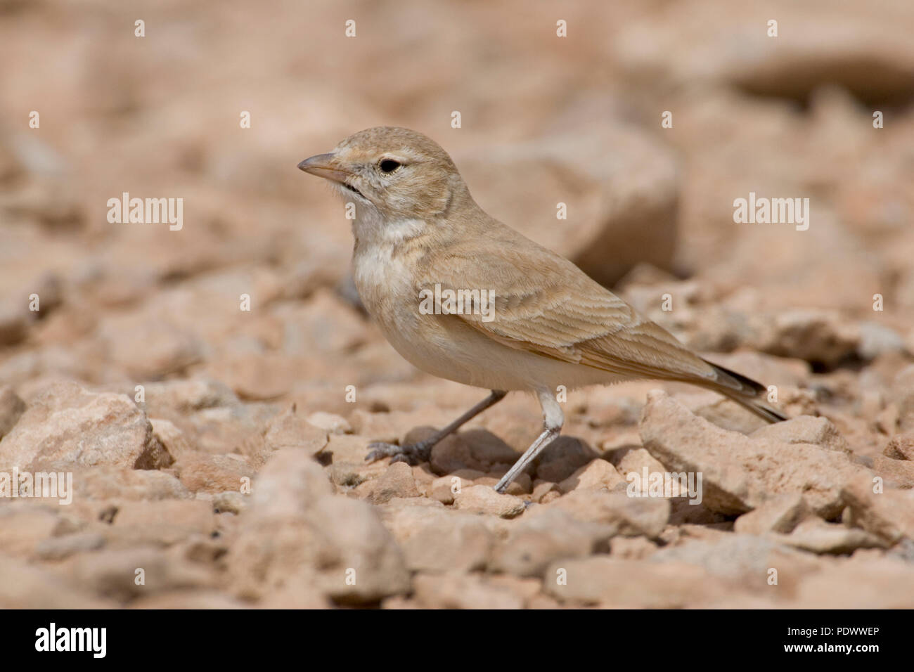 Bar-tailed Desert Lark on a stone, side-view. - Stock Image