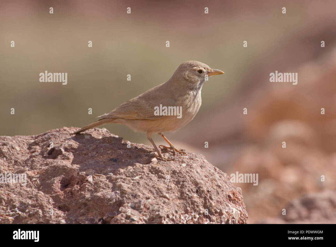 Desert Lark on a rocky stone, side view. - Stock Image