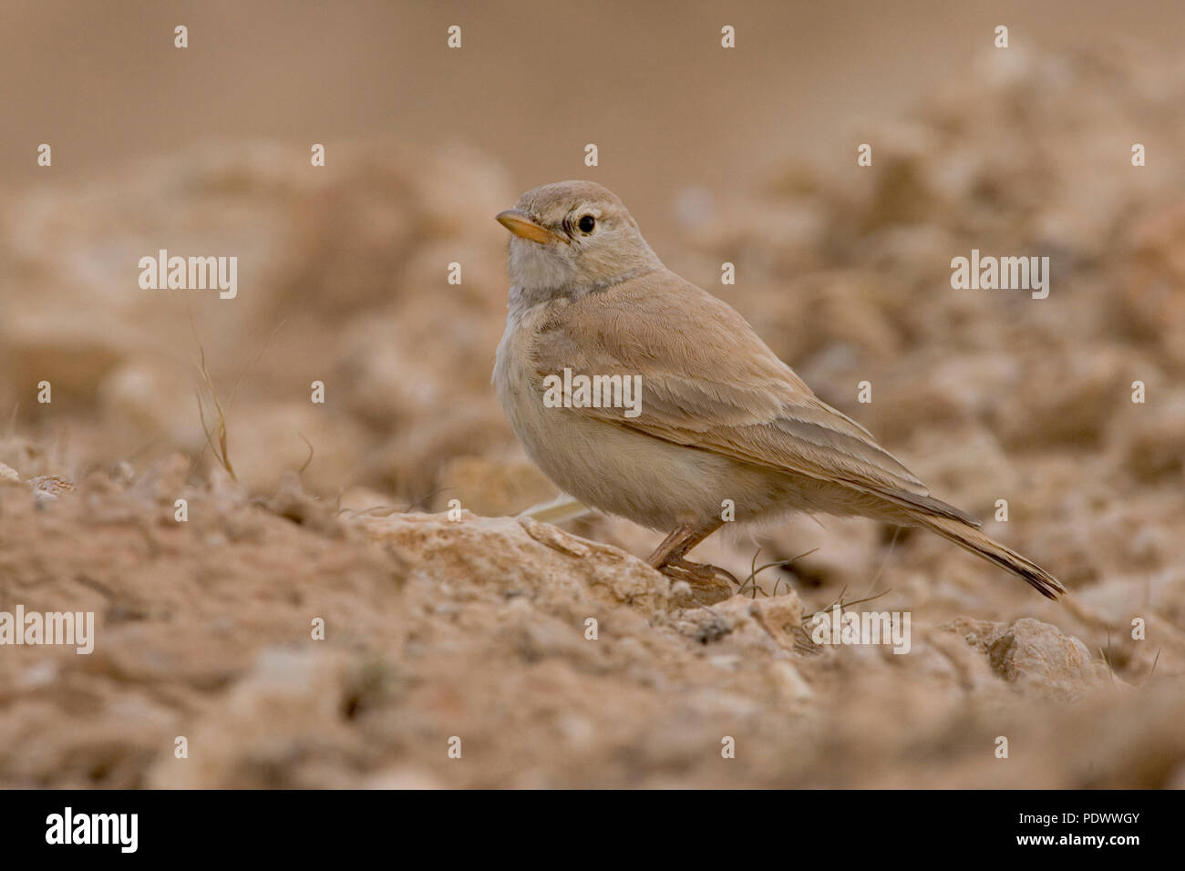Desert Lark on pebble stone, side view. - Stock Image