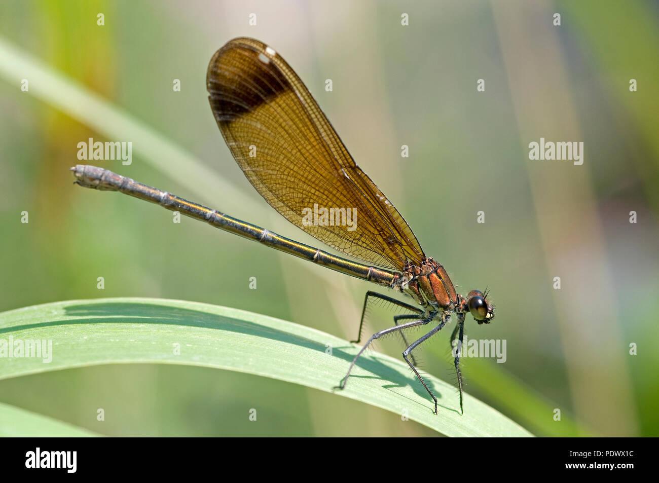 Copper Demoiselle (Calopteryx haemorrhoidalis) - Garrigue - Southern France Calopteryx mediterraneen - Stock Image