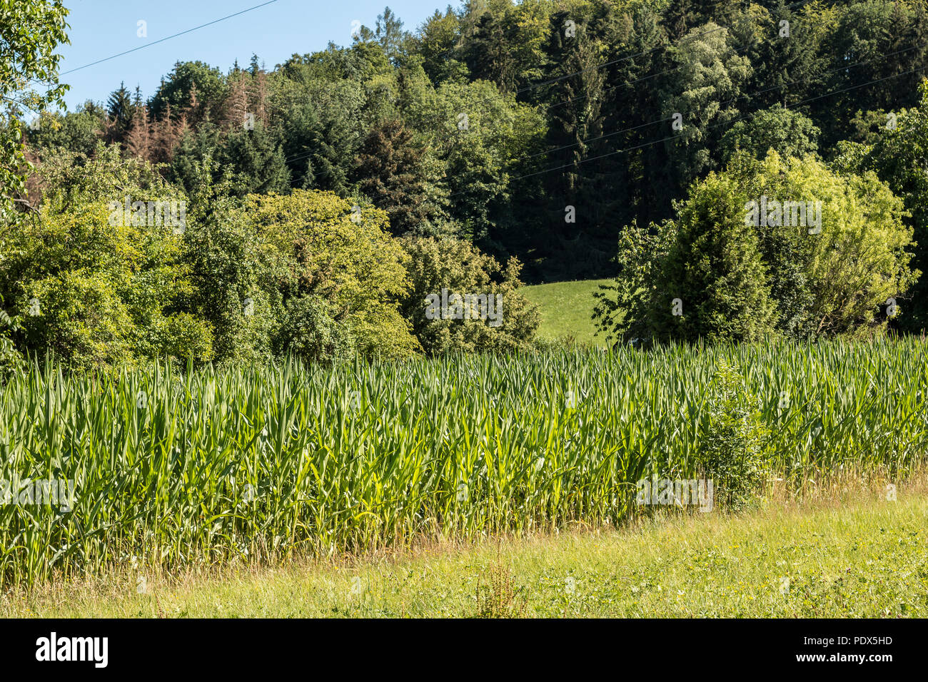 German corn field near the forest - Stock Image