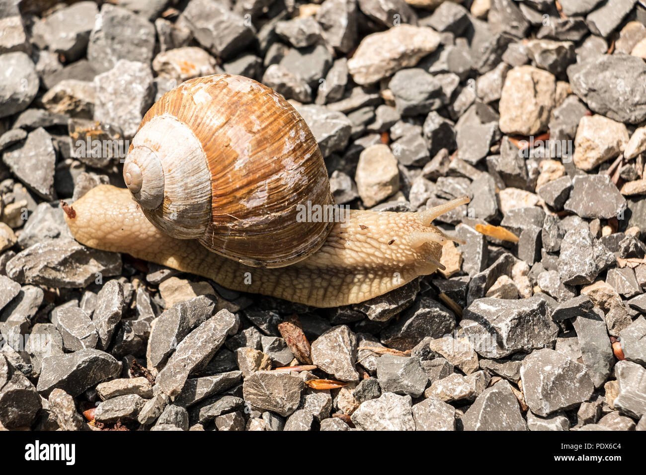 Big edible snail on stony ground in the forest Stock Photo