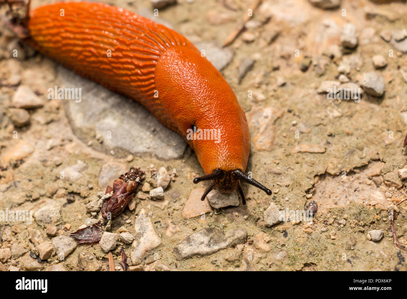 Big orange snail on stony ground in the forest Stock Photo