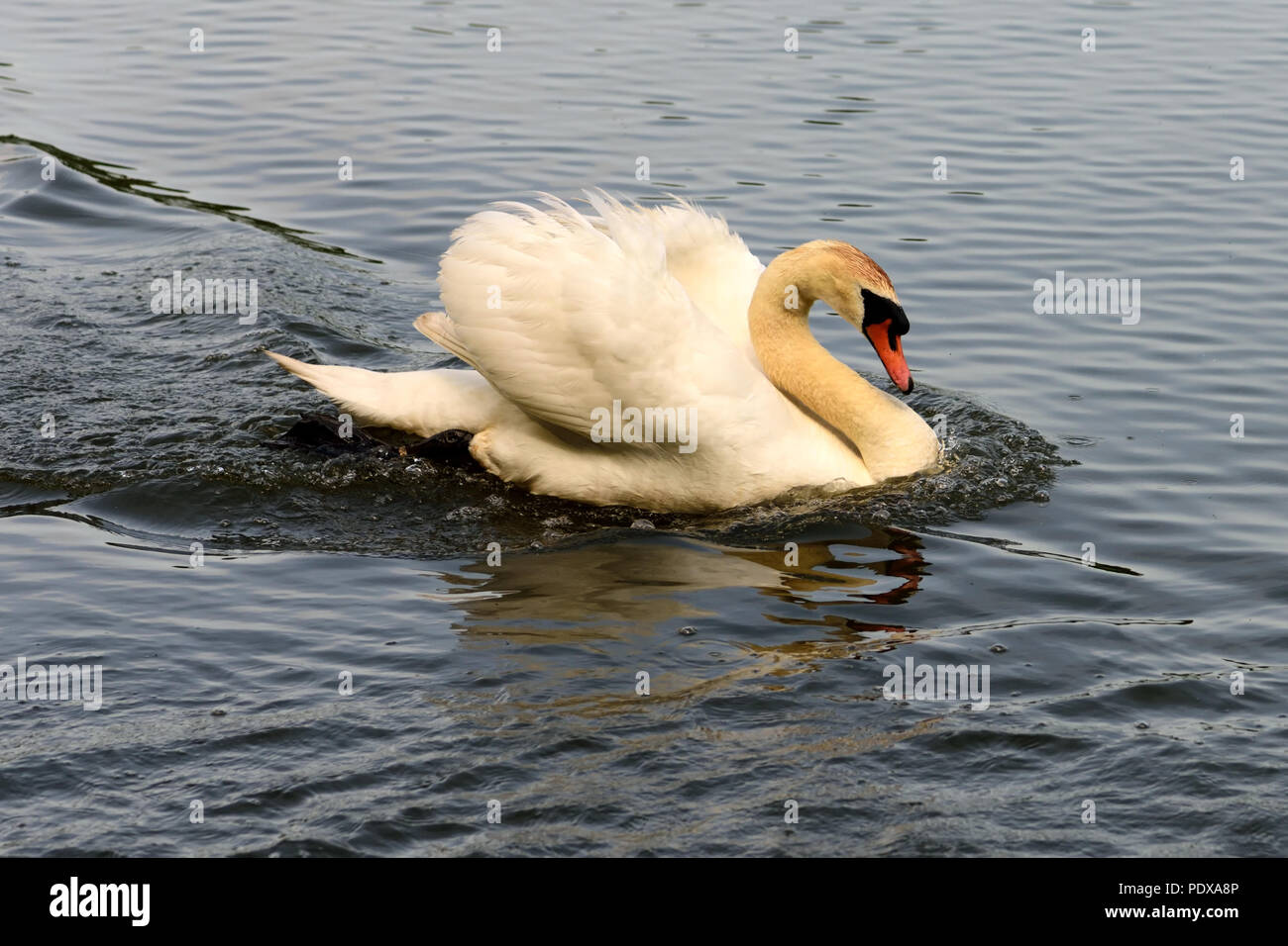 An adult mute swan in defensive mode, patrolling its territory. - Stock Image