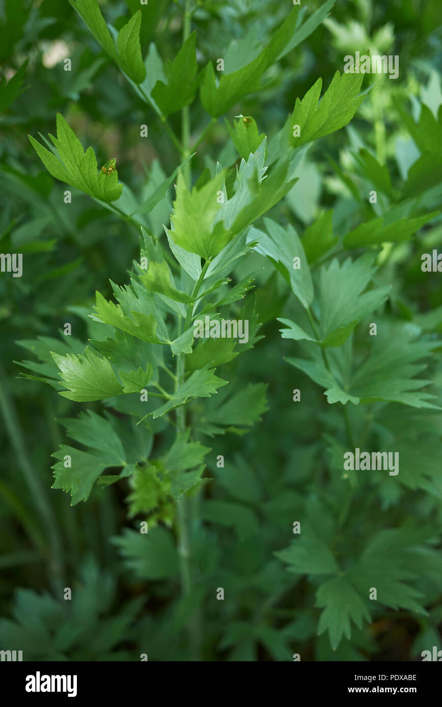 Lovage Cordial Stock Photos Lovage Cordial Stock Images Alamy