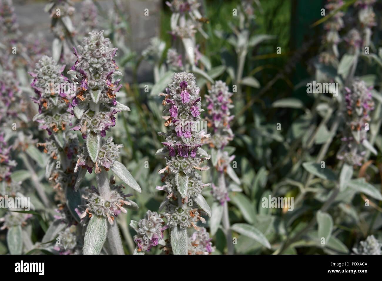 Stachys byzantina plant - Stock Image