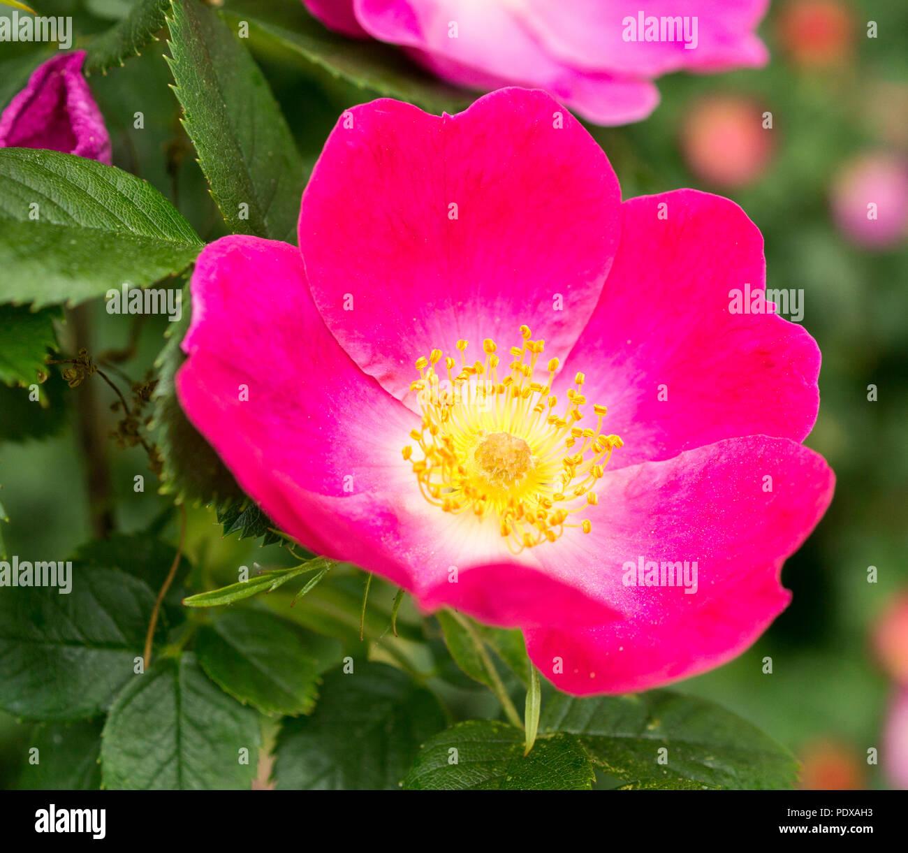 Pink bluehende Hundsrose - Stock Image